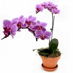 Floresnaweb -   Orquídea Príncipe, da espécie Phalaenopsis