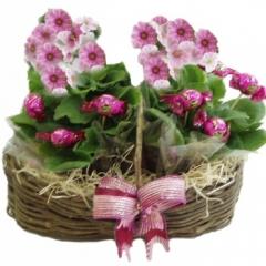 Floresnaweb -   Cesta Sonho-Meu com Prímulas e Sonhos-de-Valsa