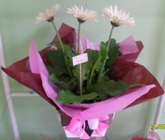 Aphelandra flores presentes e fogos - foto 12