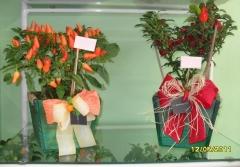 Aphelandra flores presentes e fogos - foto 6