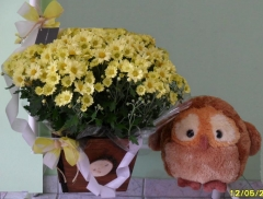 Aphelandra flores presentes e fogos - foto 15