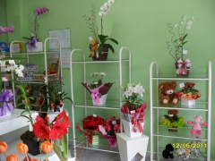 Aphelandra flores presentes e fogos - foto 2