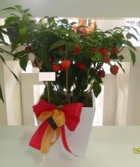 Aphelandra flores presentes e fogos - foto 5