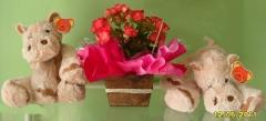 Aphelandra flores presentes e fogos - foto 24