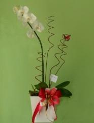 Aphelandra flores presentes e fogos - foto 13