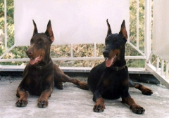 Foto 165 alarme e monitoramento - C.o.m dog Protege