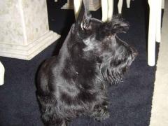 Filhotes, scottish terrier, yorkshire, sealyham, cesky terrier - foto 19