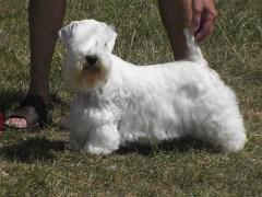 Filhotes, scottish terrier, yorkshire, sealyham, cesky terrier - foto 9