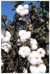 Agricultura - Imgens plantio algodão