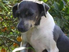 Fox terrier brasileiro graÇa e leveza