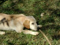 Labrador o cÃo mais requisitado do mundo