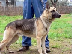 Foto 3 animais no Goiás - Dog Defender Adestramento e Hotel Para Cães