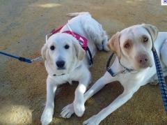 Foto 18 animais no Goiás - Dog Defender Adestramento e Hotel Para Cães