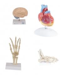 Linha médica anatomicos
