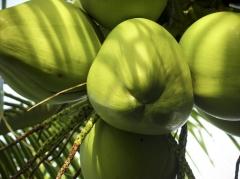 Foto 2 agricultura e pecuária - Free Coco