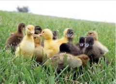 Avícola Só Frango - Foto 3