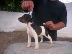 Criação selecionada de terrier brasileiro