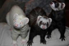 Pesca & bichos - marshall ferrets