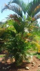 Palmeira no jardim