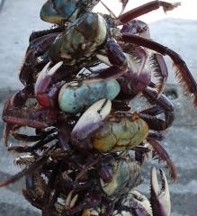 Corda de caranguejo a�u