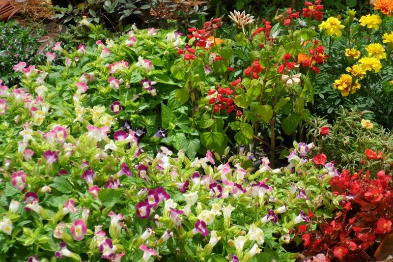 torrenias , tagetes ,begonia