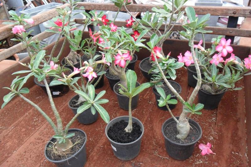 adenium-obesum-ou rosa do deserto
