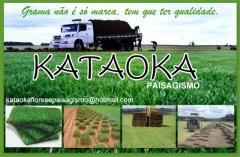 Grameira kataoka - foto 6