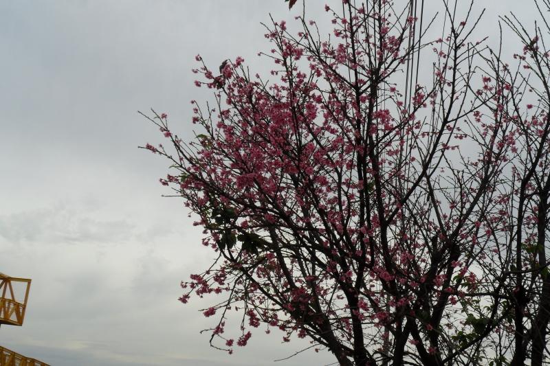 florada das cerejeira do japão - em paiçandu pr