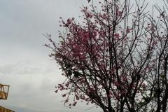 Florada das cerejeira do jap�o - em pai�andu pr