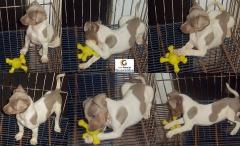 Canil pedra de guaratiba - terrier brasileiro (fox paulistinha) filhotes disponíveis: http://www.canilpguaratiba.com/html/filhotes_tb.html #canilpedradeguaratibaterrierbrasileiro #canilpedradeguaratibafoxpaulistinha