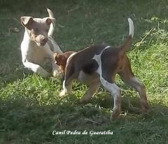 Terrier brasileiro (fox paulistinha) filhote tricolor de fígado e filhote tricolor de isabela disponíveis - nascimentos: 13/05/14 e 16/05/14 respectivamente. duas doses v10 vanguard plus pifzer, vermifugado (amplo espectro, giárdia, isósporos). ver mais em: http://www.canilpguaratiba.com/html/filhotes_tb.html #canilpedradeguaratibaterrierbrasileiro #canilpedradeguaratibafoxpaulistinha