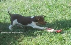 Terrier brasileiro (fox paulistinha) filhote tricolor de fígado disponível - nascimento: 13/05/14. duas doses v10 vanguard plus pifzer, vermifugado (amplo espectro, giárdia, isósporos). ver mais em: http://www.canilpguaratiba.com/html/filhotes_tb.html #canilpedradeguaratibaterrierbrasileiro #canilpedradeguaratibafoxpaulistinha