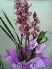 Orquidea cymbidio cor de rosa linda embalada