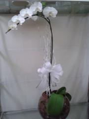 Maravilhosa orquidea falenopsis embalada em aquário de vidro