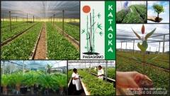 Grameira kataoka - foto 1