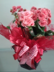 Especial vaso plantado de begonias cor de rosa