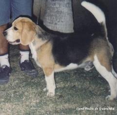 Beagle - criação - exemplares - plantel - padreador - danny! visite: http://www.canilpguaratiba.com/html/beagles.html  facebook: http://pt-br.facebook/canilpedradeguaratiba instagram: http://instagram.com/canilpguaratiba #canilpedradeguaratibabeagle  #canilpedradeguaratibabeagles  #canilpedradeguaratiba  #beagle  #beagles