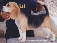 Beagle - criação - exemplares - plantel - padreadores e matrizes! visite: http://www.canilpguaratiba.com/html/beagles.html  facebook: http://pt-br.facebook/canilpedradeguaratiba instagram: http://instagram.com/canilpguaratiba #canilpedradeguaratibabeagle  #canilpedradeguaratibabeagles  #canilpedradeguaratiba  #beagle  #beagles