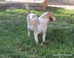 Beagle - criação - exemplares - plantel! zuzu da pedra de guaratiba! site: http://www.canilpguaratiba.com/html/beagles.html  facebook: http://pt-br.facebook/canilpedradeguaratiba instagram: http://instagram.com/canilpguaratiba #canilpedradeguaratibabeagle  #canilpedradeguaratibabeagles  #canilpedradeguaratiba  #beagle  #beagles