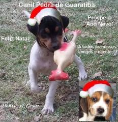 Feliz natal e próspero ano novo! aos nossos amigos e clientes! beagles: http://www.canilpguaratiba.com/html/filhotes_beagles.html paulistinhas: http://www.canilpguaratiba.com/html/filhotes_tb.html facebook: http://pt-br.facebook/canilpedradeguaratiba instagram: http://instagram.com/canilpguaratiba #canilpedradeguaratibabeagle  #canilpedradeguaratibabeagles  #canilpedradeguaratibaterrierbrasileiro #canilpedradeguaratibafoxpaulistinha #canilpedradeguaratiba #terrierbrasileiro #foxpaulistinha #beagle  #beagles