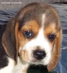 Beagle - criação - exemplares - filhotes disponíveis! saber mais: http://www.canilpguaratiba.com/html/filhotes beagles.html facebook: http://pt-br.facebook/canilpedradeguaratiba instagram: http://instagram.com/canilpguaratiba #canilpedradeguaratibabeagle  #canilpedradeguaratibabeagles  #canilpedradeguaratiba  #beagle  #beagles