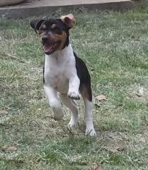 Mucopolissacaridose vii no terrier brasileiro (fox paulistinha)! blog vet mania por paloma zettermann um cão portador não é doente, mas carrega o gene... http://vet-mania.blogspot.com.br/2015/01/mucopolissacaridose-vii-no-terrier.html #blogvetmania #blogvetmaniamucopolissacaridoseviinoterrierbrasileiro #mucopolissacaridoseviinoterrierbrasileiro #mucopolissacaridoseviinofoxpaulistinha #mucopolissacaridoseviiemcaes #doencageneticaemcaes #canilpedradeguaratibaterrierbrasileiro #canilpedradeguaratibafoxpaulistinha #canilpedradeguaratiba #terrierbrasileiro #foxpaulistinha #palomazettermann