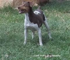 Terrier brasileiro (fox paulistinha)  criação - exemplares - plantel!  filhotes: http://www.canilpguaratiba.com/html/filhotes_tb.html instagram: http://instagram.com/canilpguaratiba #canilpedradeguaratibaterrierbrasileiro #canilpedradeguaratibafoxpaulistinha #canilpedradeguaratiba #terrierbrasileiro #foxpaulistinha