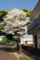 A florada do ipe branco em paiçandu pr