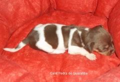 Terrier brasileiro (fox paulistinha)  fêmeas tricolores de fígado disponíveis!  fotos aos 17 dias, 30 dias, 45 dias! nascimento: 15/02/15. fotos: http://www.canilpguaratiba.com/html/n6letrah tb.html facebook: http://pt-br.facebook/canilpedradeguaratiba instagram: http://instagram.com/canilpguaratiba #canilpedradeguaratibaterrierbrasileiro #canilpedradeguaratibafoxpaulistinha #canilpedradeguaratiba #terrierbrasileiro #foxpaulistinha #terrierbrasileirocanilpedradeguaratiba #foxpaulistinhacanilpedradeguaratiba