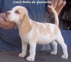 Beagle - criação - exemplares - plantel - zury aos 45 dias!! fêmea bicolor - nascimento: 22/09/13 . plantel: http://www.canilpguaratiba.com/html/plantel beagles.html facebook: http://pt-br.facebook/canilpedradeguaratiba instagram: http://instagram.com/canilpguaratiba #canilpedradeguaratibabeagle  #canilpedradeguaratibabeagles  #canilpedradeguaratiba  #beagle  #beagles #beaglecanilpedradeguaratiba  #beaglescanilpedradeguaratiba