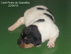Filhotes disponíveis para reserva! terrier brasileiro (fox paulistinha)  macho tricolor de fígado! fêmea tricolor de preto. nascimento: 08/04/15. acesse: http://www.canilpguaratiba.com/html/n6letrai tb.html facebook: http://pt-br.facebook/canilpedradeguaratiba instagram: http://instagram.com/canilpguaratiba #canilpedradeguaratibaterrierbrasileiro #canilpedradeguaratibafoxpaulistinha #canilpedradeguaratiba #terrierbrasileiro #foxpaulistinha #terrierbrasileirocanilpedradeguaratiba #foxpaulistinhacanilpedradeguaratiba