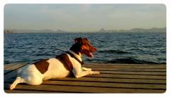 Bento da pedra de guaratiba - terrier brasileiro (fox paulistinha) -http://www.canilpguaratiba.com/html/n6letrai_tb.html