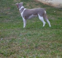 Gwen da pedra de guaratiba! terrier brasileiro (fox paulistinha)  fêmea tricolor de isabela. nascimento: 25/06/10. proprietária: bruna. acasalamento: nescau x lalá.