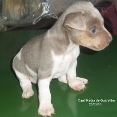 Macho tricolor de isabela! terrier brasileiro (fox paulistinha)  acasalamento: ovinho x lolita. filhotes: http://www.canilpguaratiba.com facebook: http://pt-br.facebook/canilpedradeguaratiba instagram: http://instagram.com/canilpguaratiba